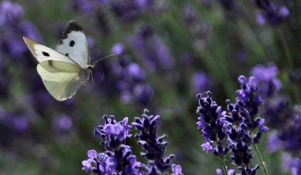 Koolwitje vliegt bij de lavendel