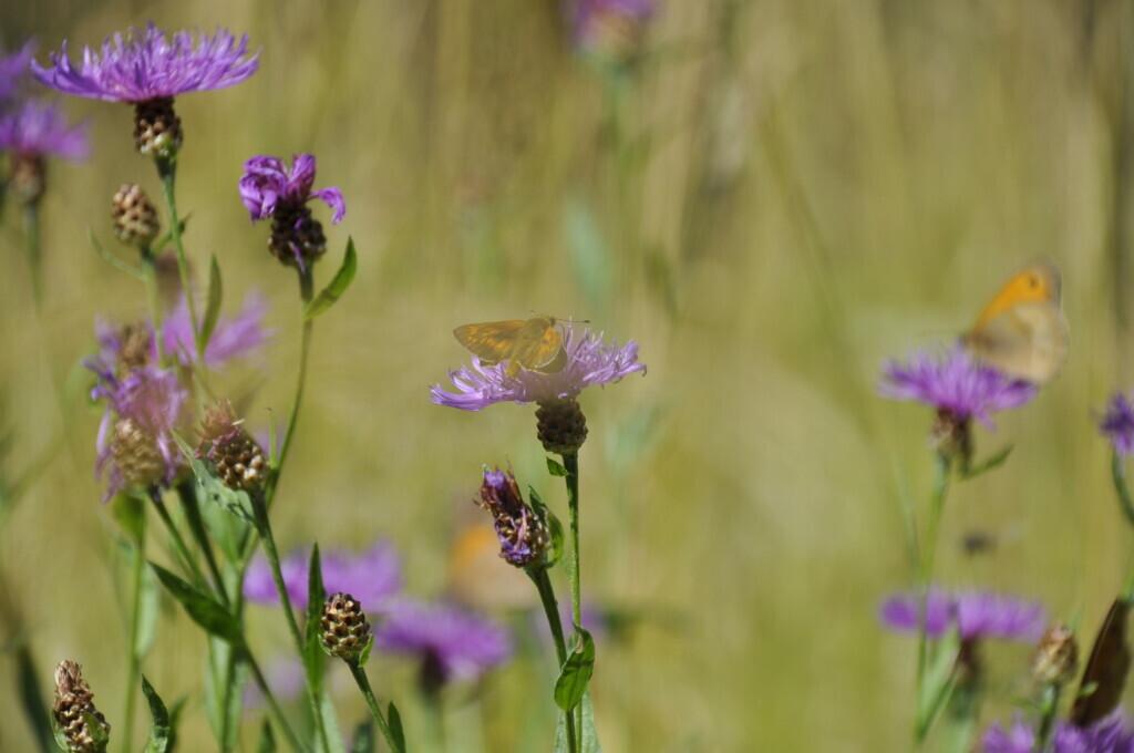 Vlinders op bloemen