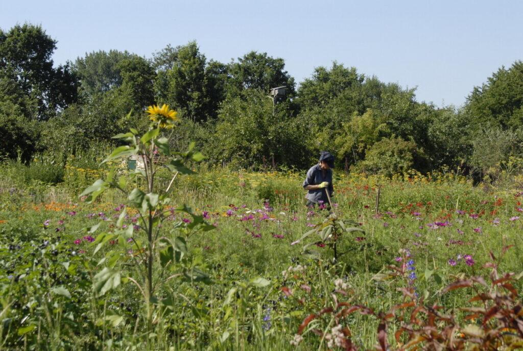 Maaike, de bloemenkweker, aan het werk in de bloementuin
